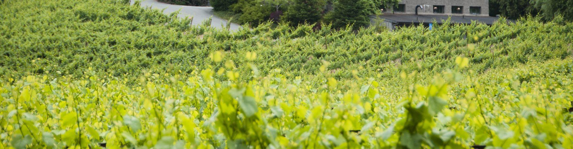 Lynmar Estate winery vines DSC 6806 1