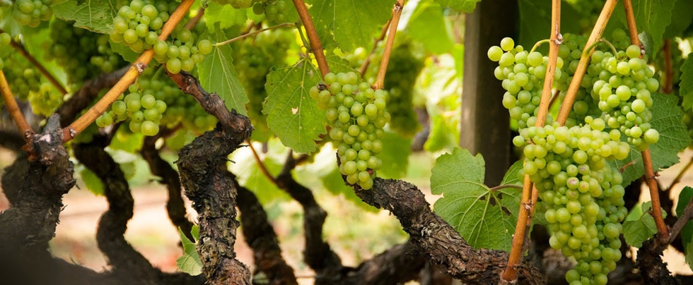 Lynmar estate advocates club announcement september 2019 grapes